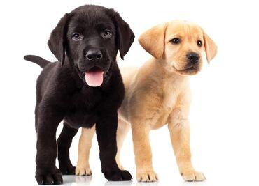 Продаются щенки породы лабрадор ретривер, в хорошие и заботливые руки