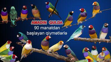 - Azərbaycan: Amadin Qulda qiymət 90 manatdan başlayır rənglərə görə qiymət dəyişir