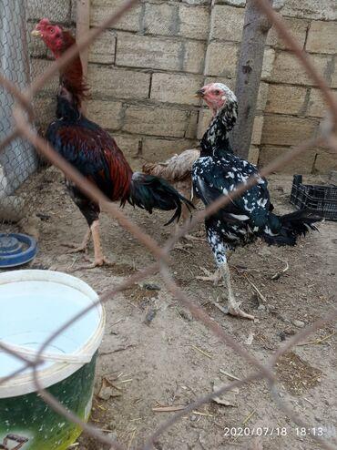 heyrati satisi в Азербайджан: Heyrati yumurtasi satilir zakaza yiglir