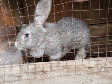 Декоративные кролики - Кыргызстан: Продам крольчиху метиска возраст год 1200 сом или обмен на цесарок