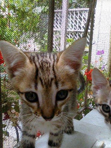 тигровые коты в Азербайджан: Продаётся котенок Ангоры тигрового окраса,2,5 месяца,мальчик,игривый,к