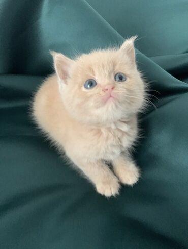 Продаются чистокровные Шотландские котята, родились 16.03Хорошо кушают