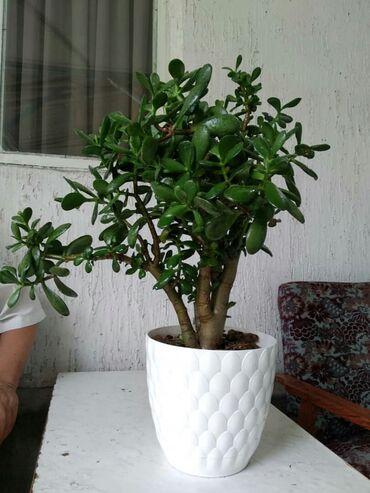 Денежное дерево - Кыргызстан: Денежное дерево!