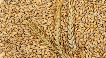 ячмень бишкек in Кыргызстан   ГРУЗОВЫЕ ПЕРЕВОЗКИ: Куплю ячмень кукуруза 20 тон цена договорная