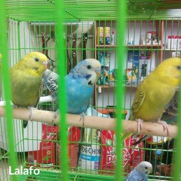 Продаю волнистых попугаев оптом и в розницу! в Бишкек
