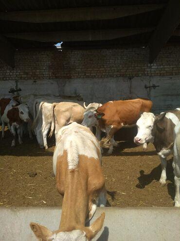 животный-с в Кыргызстан: С/х животные
