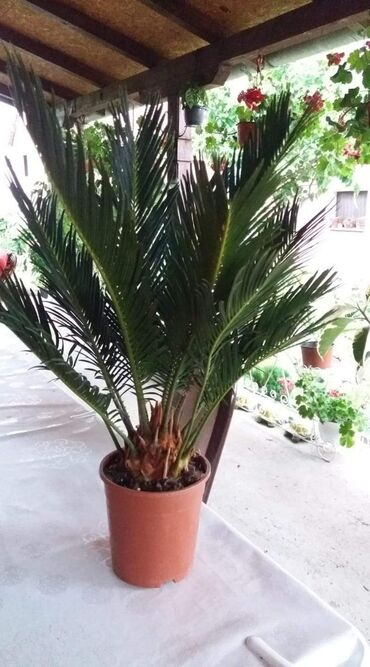 Zenska torbica sirine cm visine cm - Srbija: Cikas palma visine 50 cm