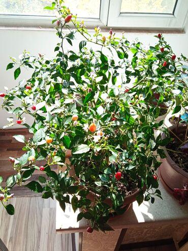 Персик острый!даёт урожай круглый год