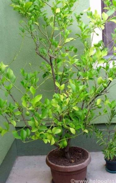 Drvo limuna.staro preko 10g,svake.god.radja