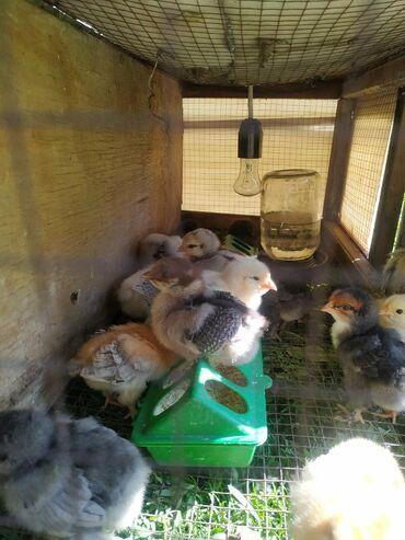 Птицы - Кыргызстан: Жөжө балапан, цеплята,18 күндүк домашный несушкалар.Бары тың чыйрак