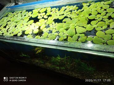 monstera bitkisi - Azərbaycan: Pistia akvarium bitkisi. Satışda başqa bitkilər və balıqlar var