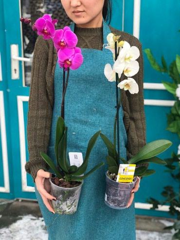 Орхидеи цветы в наличии .комнатные цветы.Голандия. в Бишкек