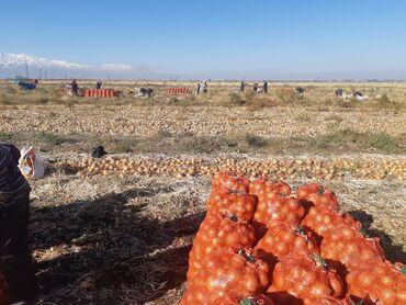 гостиница кара балта дешево in Кыргызстан | ПЛАТЬЯ: Продаю лук в большом количестве в Кара-Балте.С поля