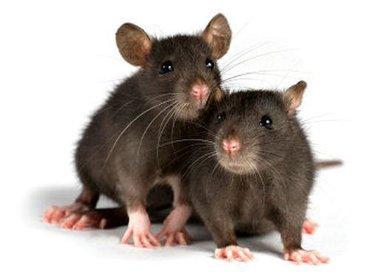 Крысы в Кыргызстан: Продаю декоративных крысят Маленькие