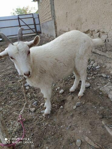 82 объявлений   ЖИВОТНЫЕ: Продаю   Коза (самка)   Зааненская   Для молока   Котные