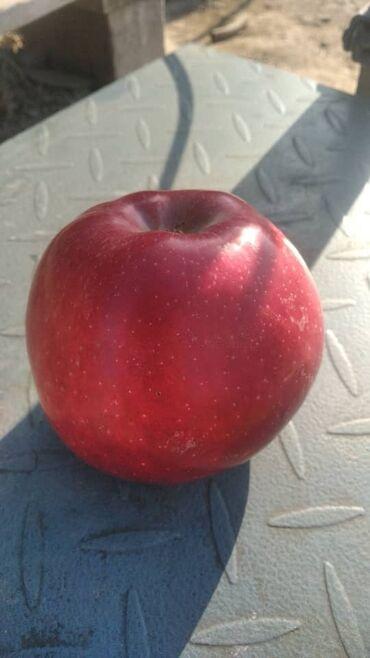 4578 объявлений: Продаются яблоки сорта «ред чиф» в больших количествах, оптом. Сад нах