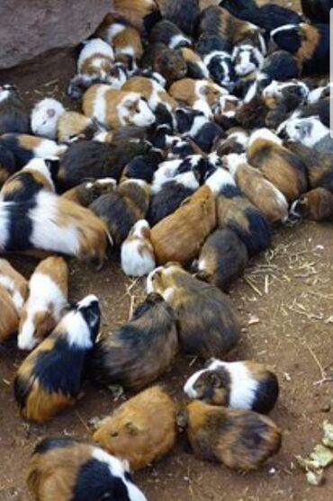 Морские свинки - Кыргызстан: Морские свинки разного возраста