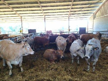 Здравствуйте, поставляем КРС(крупно рогатый скот) и МРС молочных и мяс