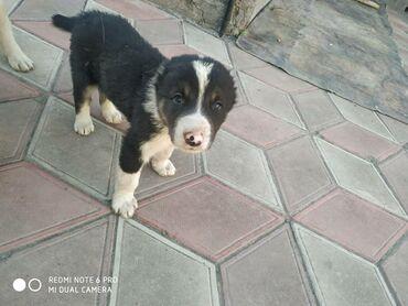 Продается щенок породы Азиат, без документов. Дата рождения 10 мая