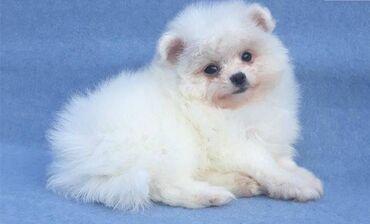 Pomeranian κουτάβιαΧαριτωμένα κουτάβια Pomeranian για