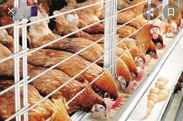 Животные - Буденовка: Продаю | Куры | Домашняя