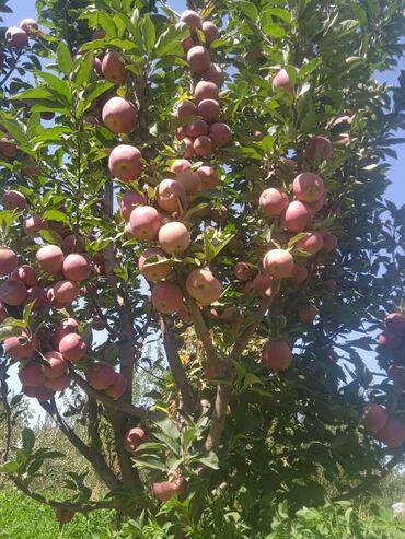 131 объявлений: Яблоко сорт привосход