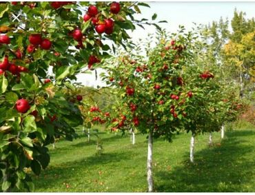 - Azərbaycan: Salam men aylevi qalmaq üçü bağban işi axtarıram hovuzsuz bol meyveli