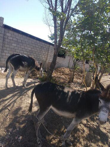 Животные - Кемин: Продается осел с осликом. Ходит на брычке. Возраст 3 года