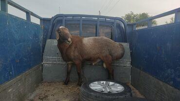 Животные - Ивановка: Продаю кочкор возраст 2 года  Обращайтесь в ватцап