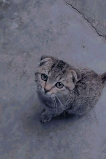 24 elan   HEYVANLAR: Sotlant pisiyi 4 ayligdi ekrekdi evde saxlanilir qiymet 100manat
