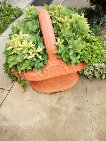 Sedum spektabile debela koka lako za uzgajanje brzo raste i dobro - Sremska Mitrovica