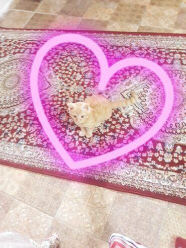 Животные - Селекционное: Срочно отдам рыжинкого котенка к лотку приучена девочка завут Рыжик