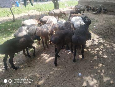 Животные - Юрьевка: Продаю | Баран (самец) | Гиссарская | На забой, Для разведения, Для шерсти | Племенные