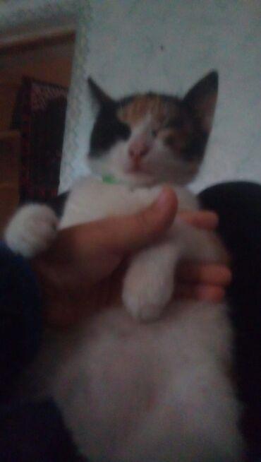 вислоухий сиамский кот в Азербайджан: Турецкий Ван остался 1 катенок, черненький. К лотку приучен, возможен