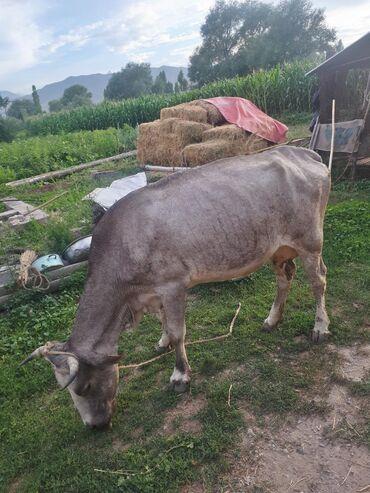 Продается молодая корова прошу 60 тысяч сомов (р-н Ысык Ата)