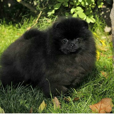 продается шикарный щенок померанского шпица. очень редкого окраса. с о в Бишкек