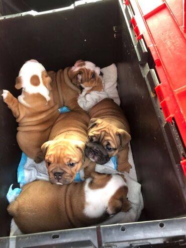 English Bulldog Puppies for Sale English Bulldog Puppies for sale The