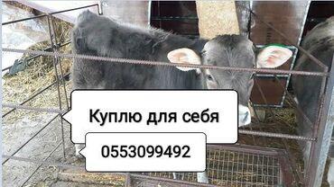 Куплю козу дойную - Кыргызстан: Куплю   Коровы, быки   На откорм