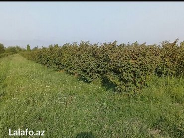 Xaçmaz şəhərində 1 ha 30 sot findiğ baği 30 sotu 8ilin 1 hektarı 3 ilin bağıdı