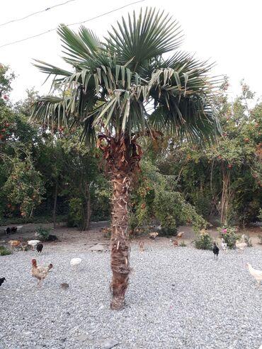 Otaq bitkiləri - Ağdaş: Uzunluqu 4 metr yawi 15 Ferman