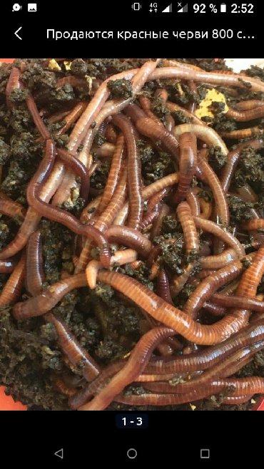 8 объявлений | ЖИВОТНЫЕ: Калифор,й черви
