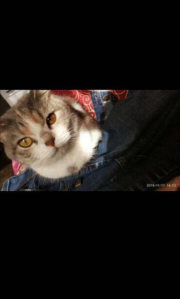 skidki na futbolki в Кыргызстан: Продается кошка! Девочка документы все имеются,Шотландская