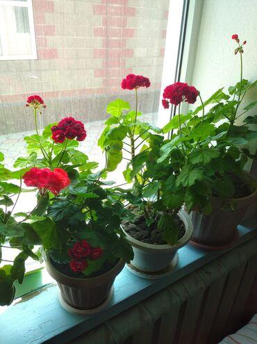 Комнатные растения - Кыргызстан: Герани яркие красивые цветущие растения