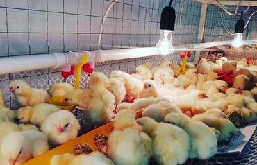 alfa romeo 155 25 mt в Кыргызстан: Куплю бройлерных цыплят Кобб 500 или Арбор - 2000 штук. Нужно до 25