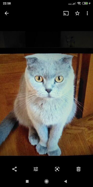 вислоухий сиамский кот в Азербайджан: 5-и летняя скотиш фолд -вислоухая. Здоровая, привитая очень ласковая