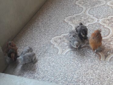 brama cuceleri - Azərbaycan: 3 ayliq Brama cuceleri satilir 2 ayliq cuceler arginal bramalar