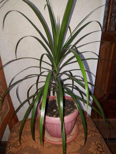 Пальма драцена в Лебединовка