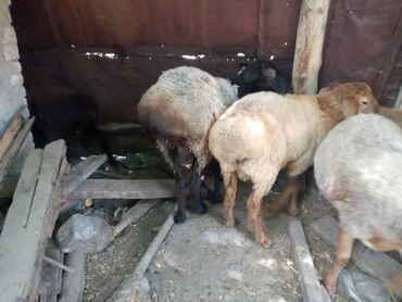 Животные - Каирма: Кочкор