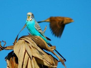 Хорошие взрослые волнистые попугаи в Бишкек
