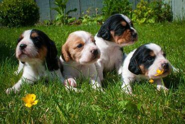Πώληση κουτάβια BeagleΤέσσερα αρσενικά κουτάβια beagle 8 εβδομάδων